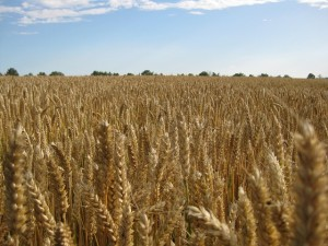GMO Wheat in the Food Supply