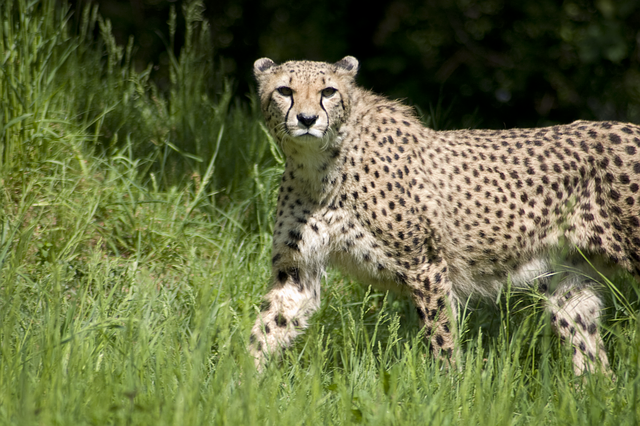 cheetah-111024_640